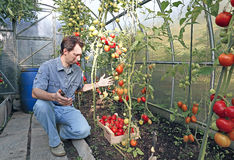 A worker harvests of red ripe tomatoes in a greenhouse. Made of transparent polycarbonate Stock Images