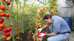 Worker harvests of red tomatoes in a greenhouse stock video