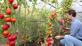 Worker harvests of red tomatoes in a greenhouse stock footage