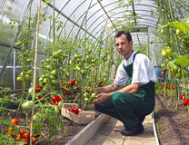 Worker harvests tomatoes in the greenhouse Stock Photography