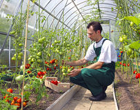 Worker harvests tomatoes in the greenhouse Royalty Free Stock Photos