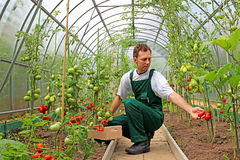 Worker harvests tomatoes in the greenhouse Stock Image