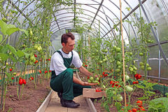 Worker harvests tomatoes in the greenhouse Stock Images