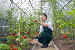 Worker harvests tomatoes in the greenhouse Royalty Free Stock Photography