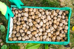 Worker holding box of fresh picked walnuts Royalty Free Stock Images