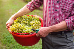 Worker Holding Bucket filled with White Grapes royalty free stock photo