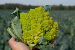 Worker holding in hand ripe green Romanesco broccoli or Roman cauliflower, Broccolo Romanesco, Romanesque cauliflower, new harvest. Close up royalty free stock images