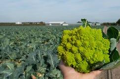Worker holding in hand ripe green Romanesco broccoli or Roman cauliflower, Broccolo Romanesco, Romanesque cauliflower, new harvest. Close up stock image