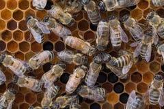 Worker honeybees on frame of pollen Stock Photo