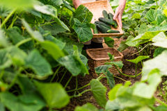 Worker keeps the basket with cucumbers and picks others Royalty Free Stock Photography
