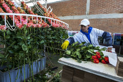 A worker at the La Compania Rose Plantation in Ecuador packs roses in the processing factory. Stock Photos