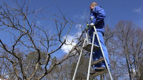 Worker man cut tree branch on ladder in spring time garden. 4K stock footage