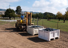 Worker manning forklift with grapes at winery. Worker in red hoodie manning forklift with grapes at a winery in California.  Grapes harvesting at a small winery Stock Images