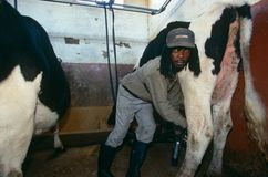 Worker milking a cow in rural South Africa Royalty Free Stock Images