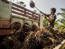 Worker in oil plam plantation Royalty Free Stock Photos