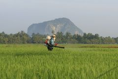 Worker in Paddy Field, rice view. A farmer working in the paddy field Stock Photos