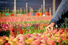 Worker picking apples Stock Photography