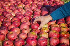 Worker picking apples Royalty Free Stock Photography