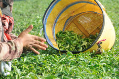 Worker picking and crushing tea leaves in a tea plantation Royalty Free Stock Image