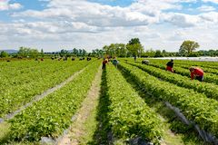 Worker picking strawberries on field, harvesting strawberries, seasonal workers on farmland, Germany Royalty Free Stock Images