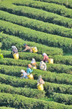 Worker picking tea leaves in tea plantation Royalty Free Stock Photo