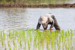 Worker plant rice Stock Images