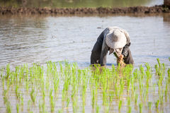 Worker plant rice Stock Image