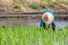 Worker plant rice Royalty Free Stock Photography