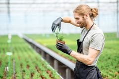 Worker with plants in the greenhouse. Worker cutting with scissors tops of plants for better growing in the greenhouse of plant production Royalty Free Stock Photos
