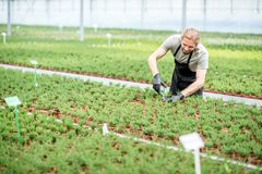 Worker with plants in the greenhouse. Worker cutting with scissors tops of plants for better growing in the greenhouse of plant production Royalty Free Stock Photo
