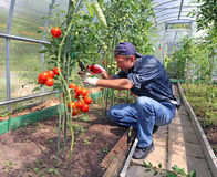Worker processing the tomatoes bushes in the greenhouse of polyc Stock Image
