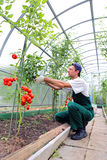 Worker processing the tomatoes bushes in the greenhouse of polyc Stock Photography