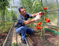 Worker processing the tomatoes bushes in the greenhouse. Worker is processing the tomatoes bushes in the greenhouse of polycarbonate Stock Images