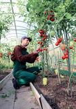Worker processing the tomatoes bushes in the greenhouse Royalty Free Stock Photo