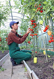 Worker processing the tomatoes bushes in the greenhouse. Of polycarbonate Royalty Free Stock Image
