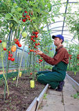 Worker processing the tomatoes bushes in the greenhouse. Of polycarbonate Royalty Free Stock Photos