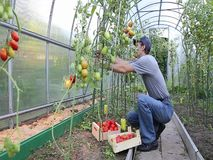Worker processing the tomatoes bushes in the greenhouse stock video