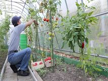 Worker processing the tomatoes bushes in the greenhouse stock footage
