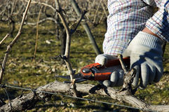 Worker pruning grapevines Royalty Free Stock Photos