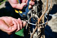 Worker pruning grapevines stock photo