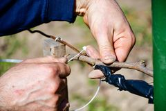 Worker pruning grapevines stock image