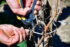 Worker pruning grapevines royalty free stock images