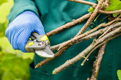 Worker is pruning plant branches, gardener is thinning red currant bush branches Stock Image