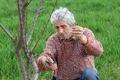 Worker pruning tree in orchard, agriculture Royalty Free Stock Photography
