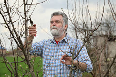 Worker pruning tree in orchard, agriculture Royalty Free Stock Photo