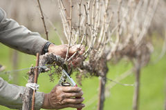 Worker pruning wine grape vineyard Stock Image
