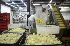 Worker puts an onions Royalty Free Stock Images