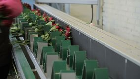 Worker is putting red rose bouquettes to the green line on modern factory. Stuff is working in gloves to protect hands from thorns on long scapes and placing stock video footage