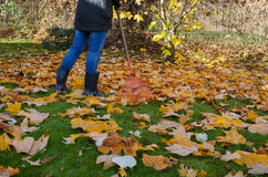 Worker rake autumn dry tuliptree leaves in garden Stock Image