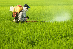 Worker at Rice Field. A farmer spraying insecticide in rice field